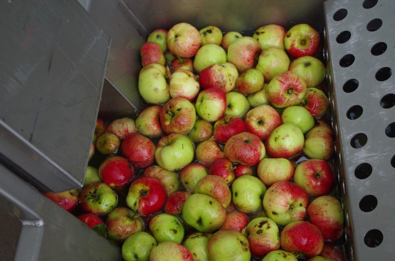 ... frukten sorteras och tvättas